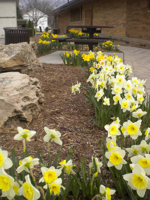 daffodils along the walk, spring 2013