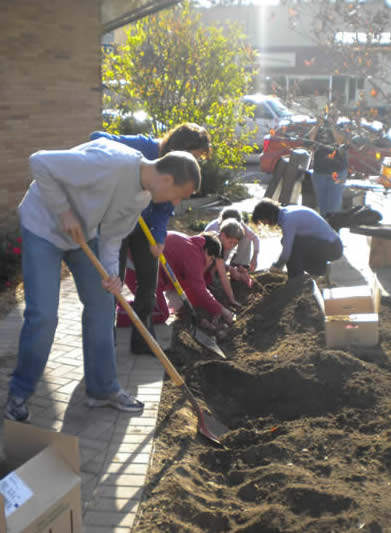 volunteers planting daffodil bulbs